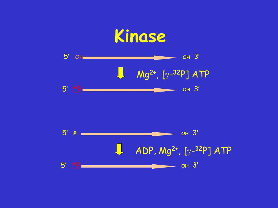 Kinase Mg2+, [g-32P] ATP ADP, Mg2+, [g-32P] ATP 5' OH 5' *P 5' P 5' *P
